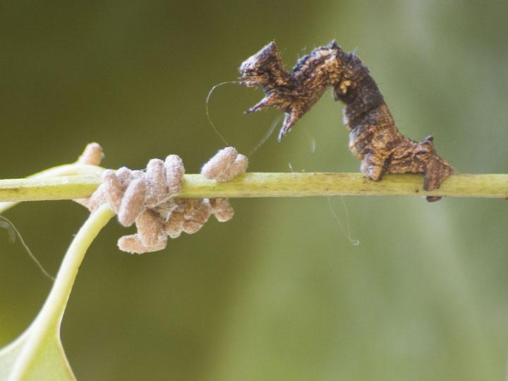 d'effroyables parasites qui prennent contrôle du corps de leur hôte pour accomplir leur sombre dessein 12-eff26