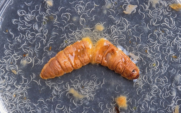 d'effroyables parasites qui prennent contrôle du corps de leur hôte pour accomplir leur sombre dessein 12-eff29