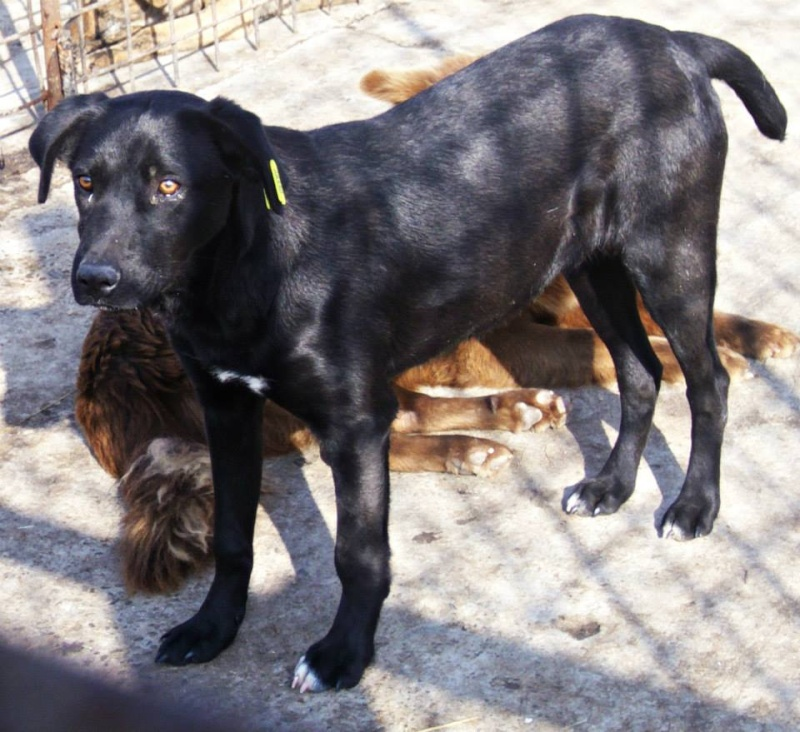 ZEBULON - mâle, croisé labrador (PASCANI) - chez Chantal(depart63) - ADOPTE PAR PATRICK (63) 10312_10