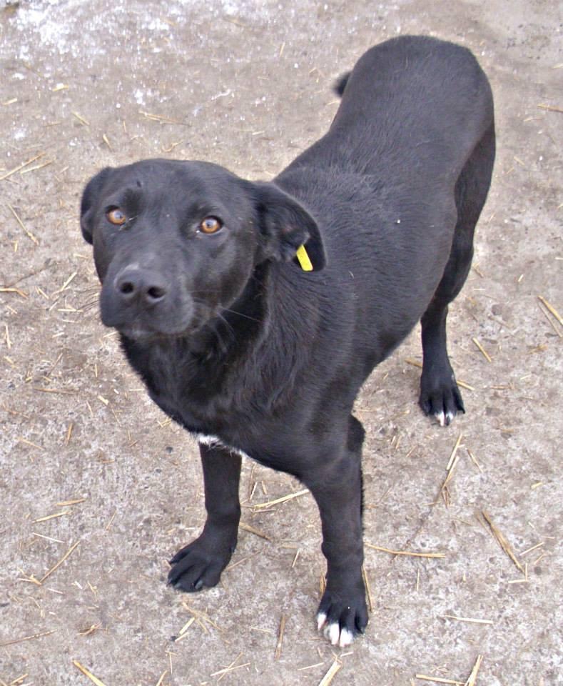 ZEBULON - mâle, croisé labrador (PASCANI) - chez Chantal(depart63) - ADOPTE PAR PATRICK (63) 14265410