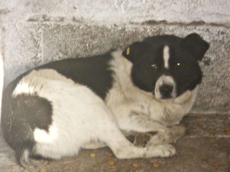 LOKI, M-X, né 2011, taille moyenne (Pascani) - En FA chez patau (Départ63) - URGENT 14535010