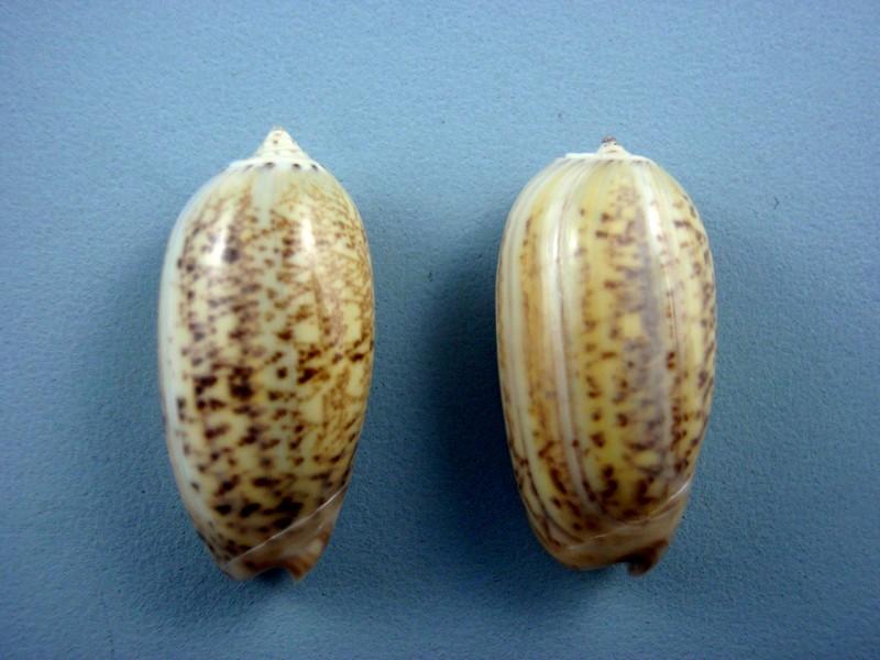 Carmione bulbiformis (Duclos, 1840) - Worms = Oliva bulbiformis Duclos, 1840 Mappa_12