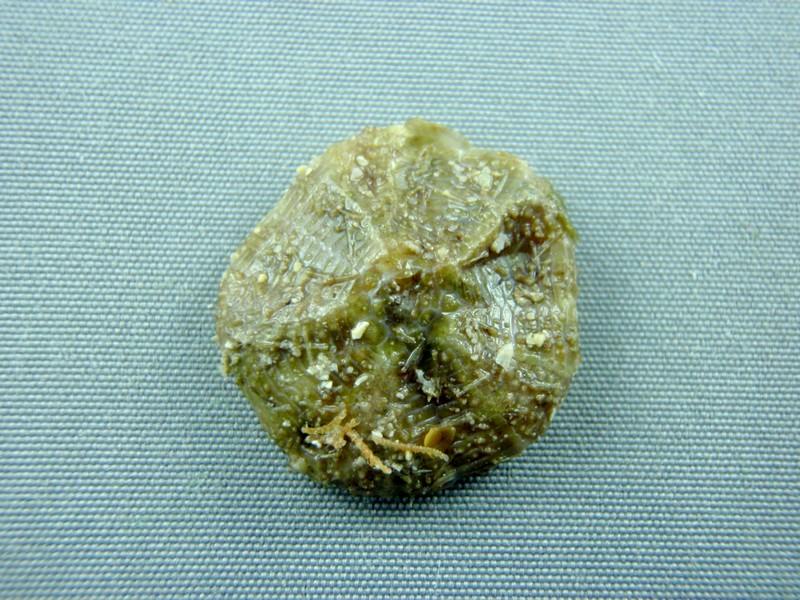 Oursin mou de Nouvelle Calédonie + Lien vers planche identification Oursins Tirard11