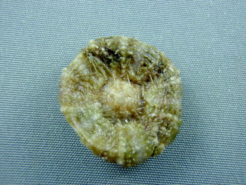 Oursin mou de Nouvelle Calédonie + Lien vers planche identification Oursins Tirard12