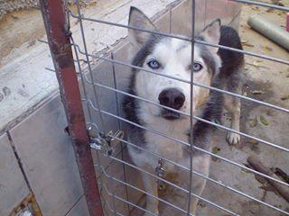 BLUE EYES  8ans, Husky sauvé de Roumanie ASSO65 Blue10
