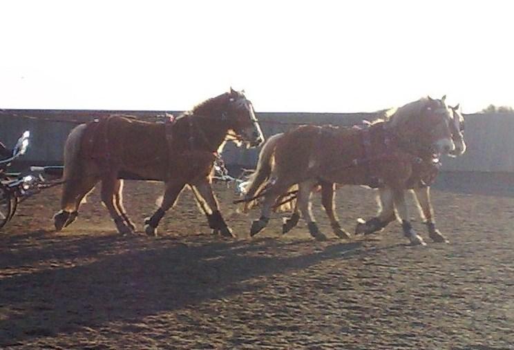 Guyonne, la passion du cheval... avec ses blonds ! Travai10