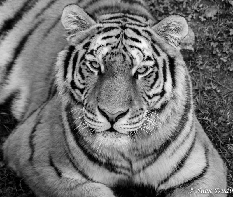 Tigre!! P9270910