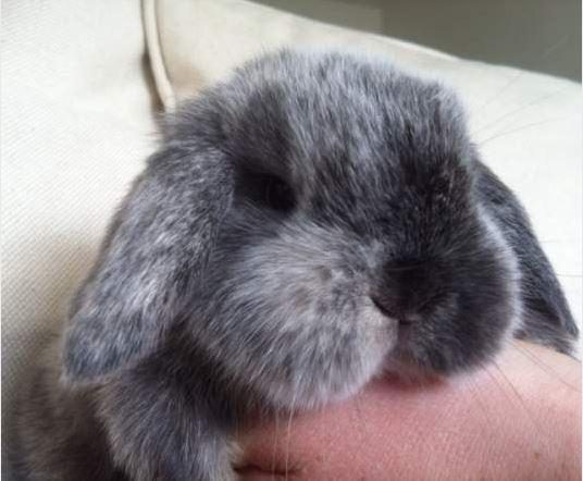 Litha, lapine bélier Litha10