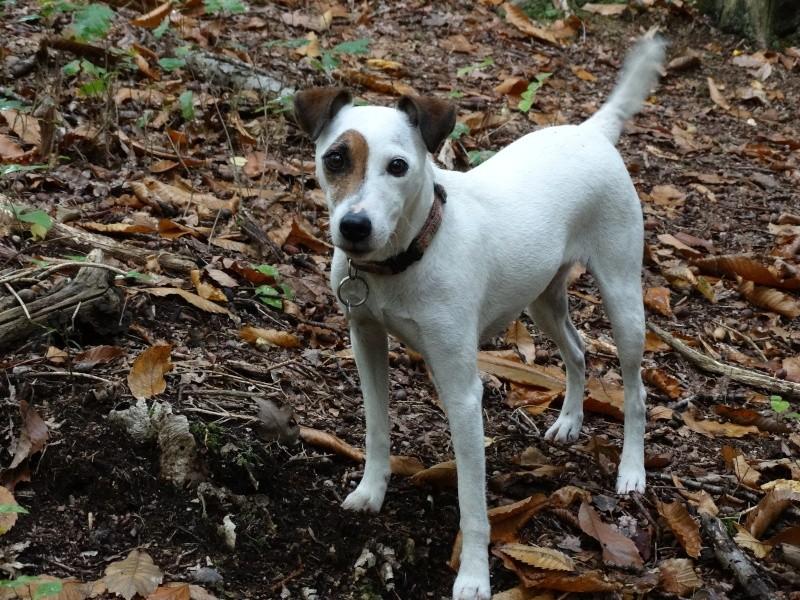 Le Parson Russell Terrier Dsc00310