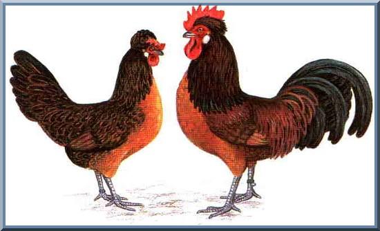 La poule Brabançonne Brab110