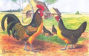 La poule Brabançonne Brab410