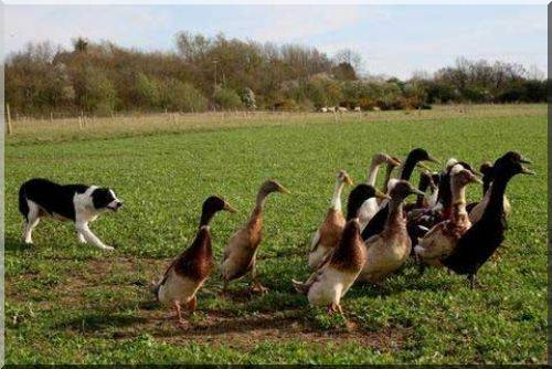 le Coureur Indien (canard) Runner14