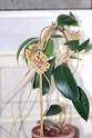 Hoya sp Kho Rese Sunda 00110