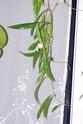 Hoya longifolia 00811