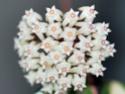 Hoya parasatica variegata 01010