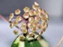 Hoya parasatica variegata Csc_0010