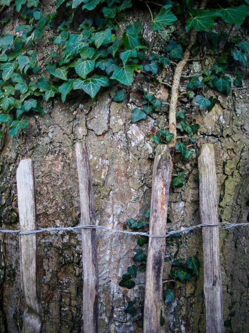 Fence and tree at Plas yn Llan 2014_p11