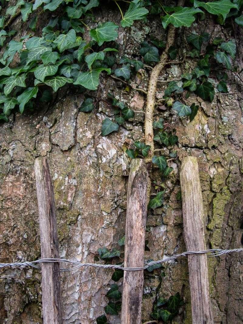 Fence and tree at Plas yn Llan _2060010