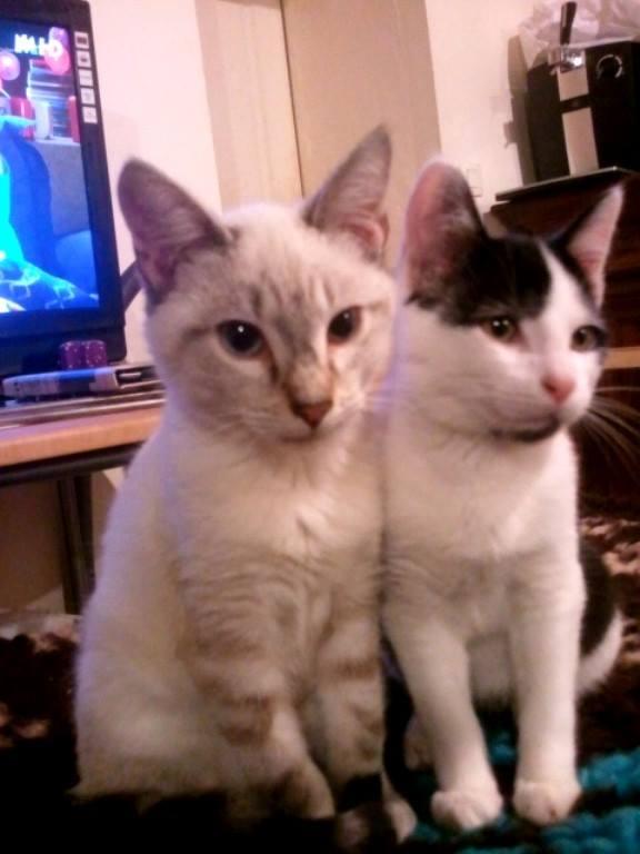 Les chats à adopter qui s'entendent avec les chiens Idiabl10