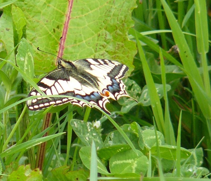 Premières observations de papillons en 2014 - Page 2 Papill15