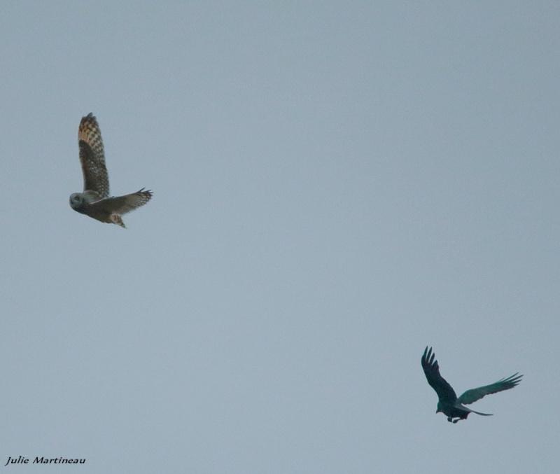 Hibou attaqué par deux corbeau. Img_2914
