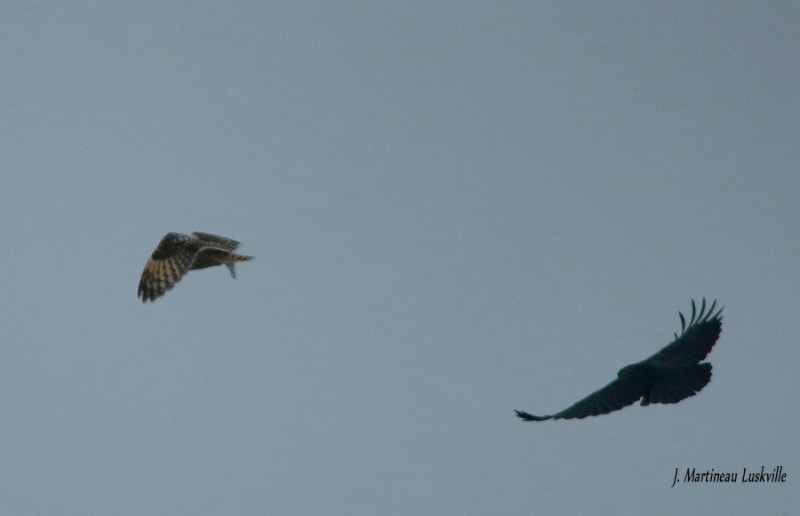 Hibou attaqué par deux corbeau. Img_2915