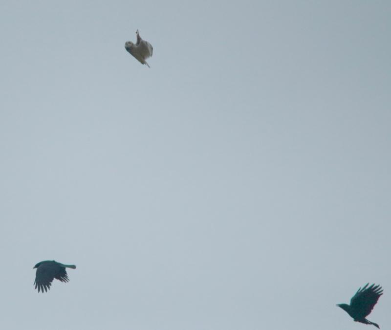 Hibou attaqué par deux corbeau. Img_2916