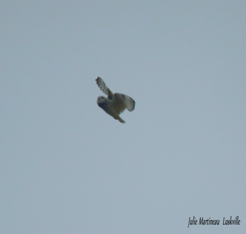 Hibou attaqué par deux corbeau. Img_2918