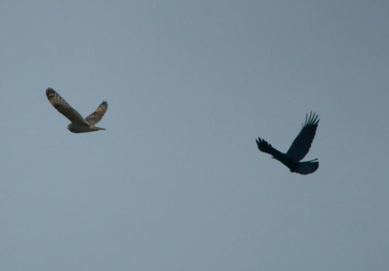 Hibou attaqué par deux corbeau. Img_2921