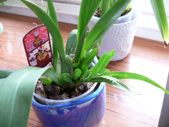 feuilles qui frises sur orchidées a longues feuilles P1090312