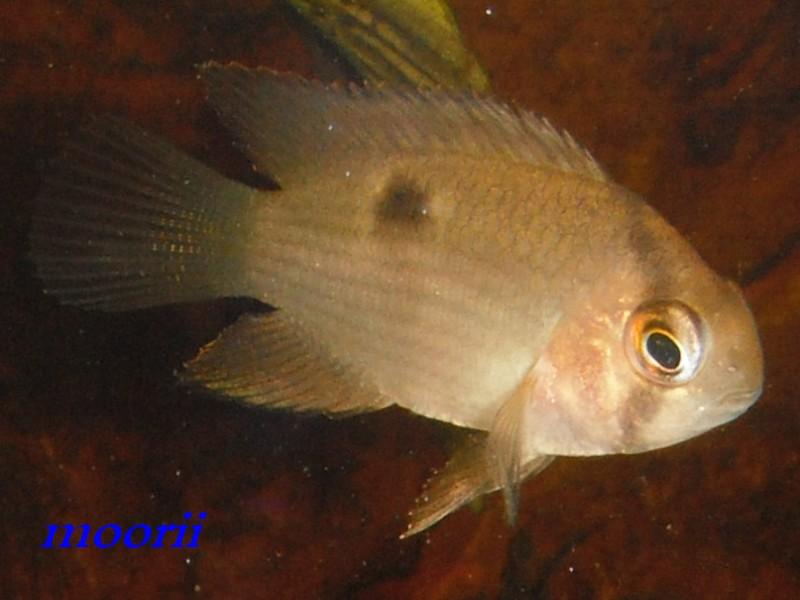 Cleithracara maronii 2010