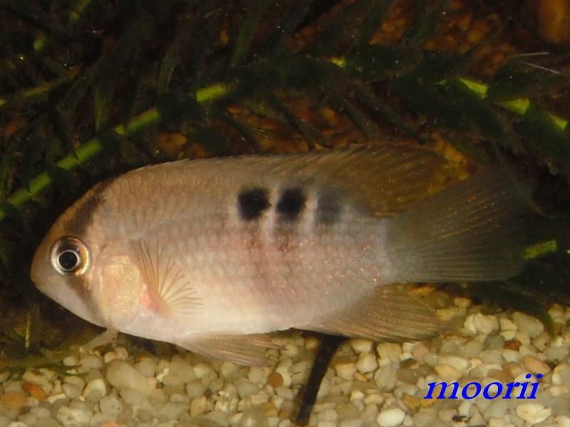 Cleithracara maronii 2810