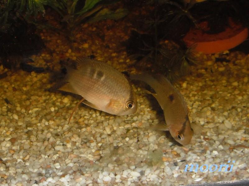 Cleithracara maronii 3510