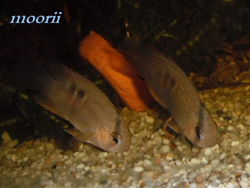 Cleithracara maronii 3610