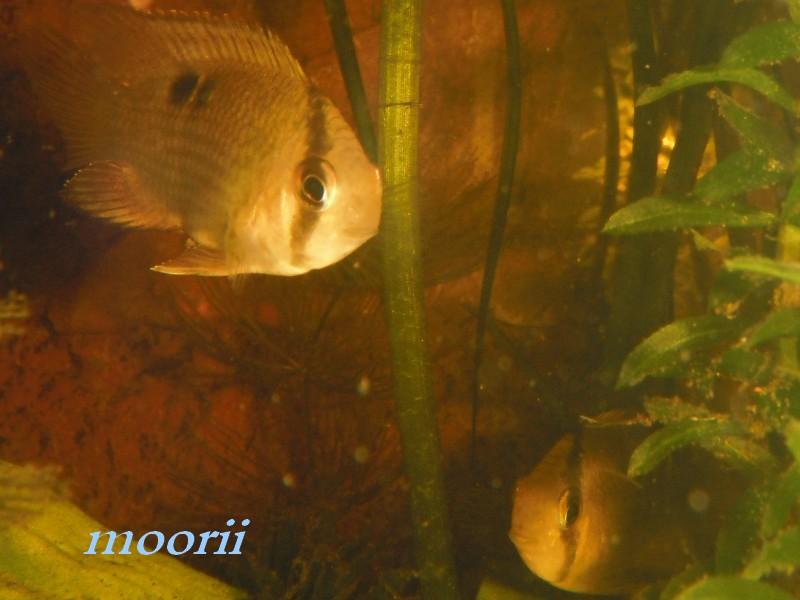 Cleithracara maronii 3710