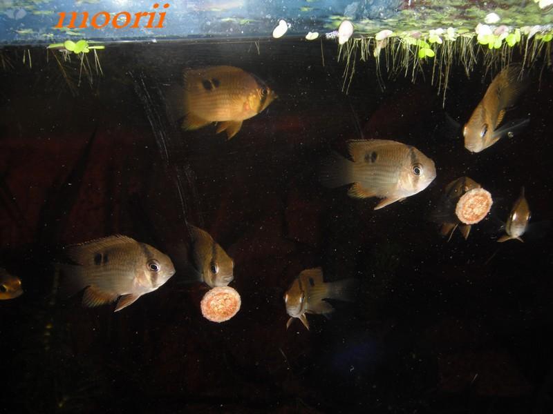 Cleithracara maronii 4010
