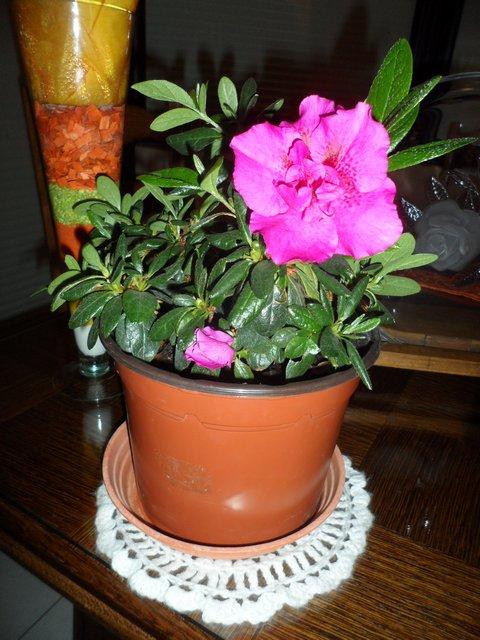 Les plantes d'intérieur de Madame - Page 3 Azala10