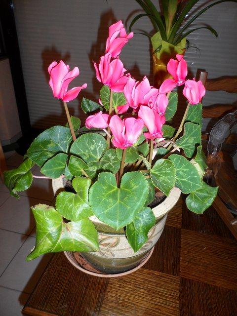 Les plantes d'intérieur de Madame - Page 3 Cyclam10