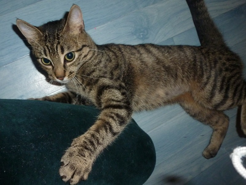 Italia, femelle tigrée née le 20/07/2013 P1070811