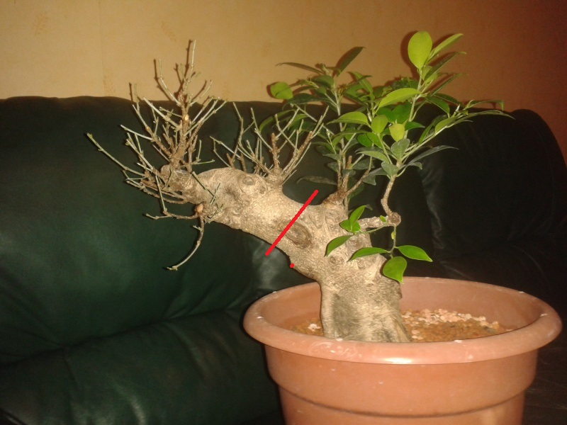 Ficus Microcarpa with huge uros and hollow trunk? 20140310