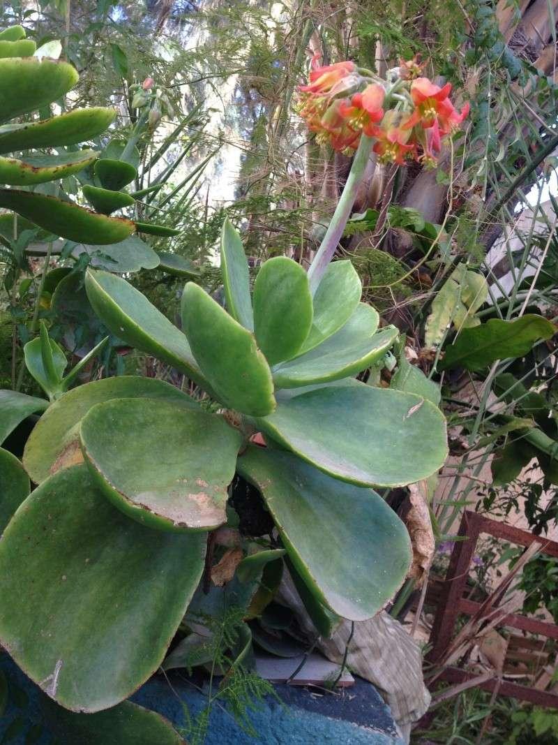 une plante grasse en fleurs 00711