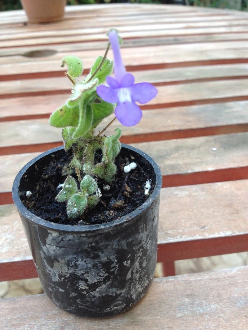 streptocarpus  tout petit et en fleurs Strepo11