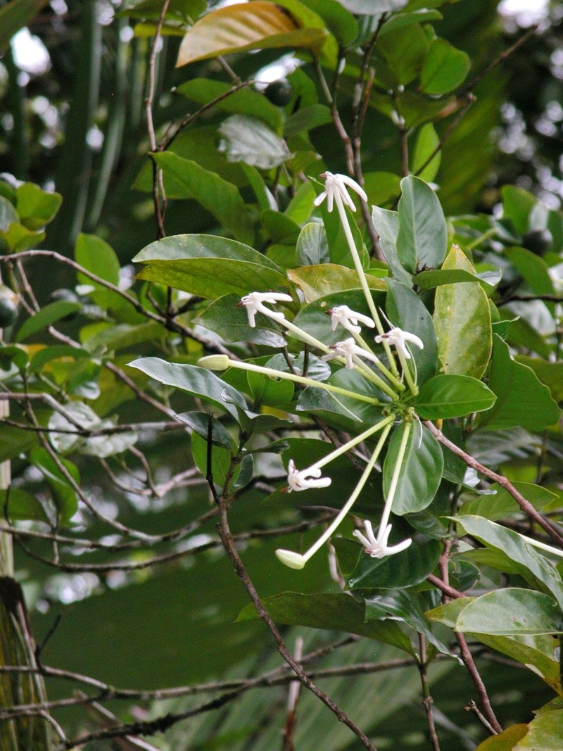 Fleur du Costa Rica ? 11610