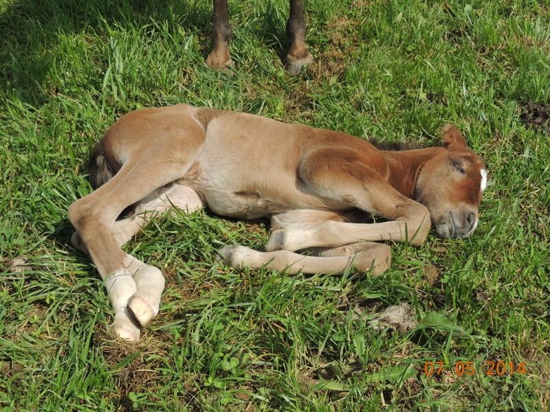 Les poulains né à l'Appaloosa IJ Farm 04710