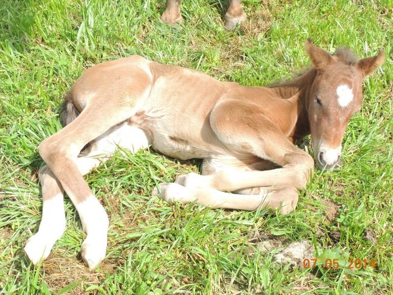 Les poulains né à l'Appaloosa IJ Farm 04810