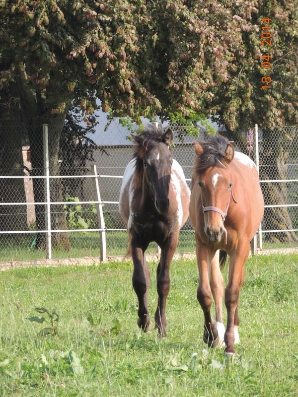 Mes chevaux, un mélange d'un peu tout le monde! - Page 8 Dodge_37