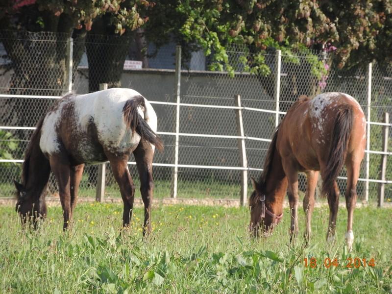 Mes chevaux, un mélange d'un peu tout le monde! - Page 8 Dodge_38