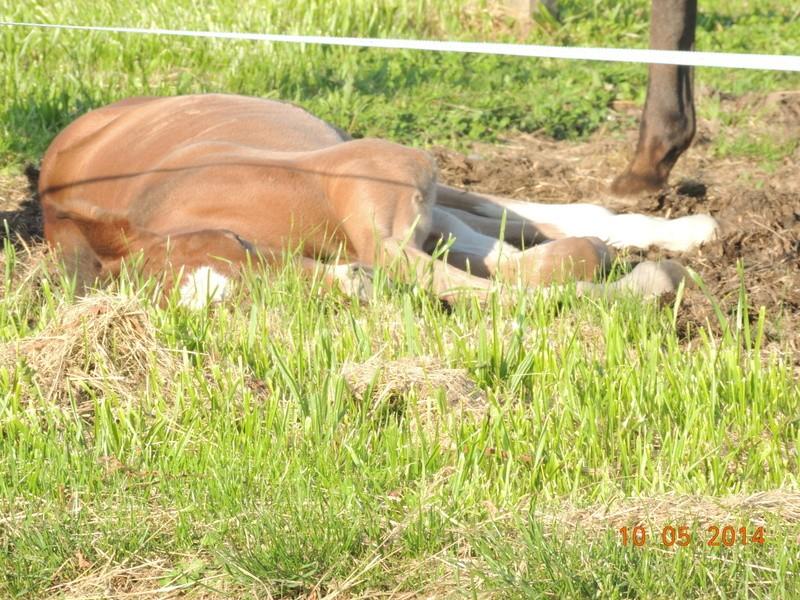 Les poulains né à l'Appaloosa IJ Farm Equali22