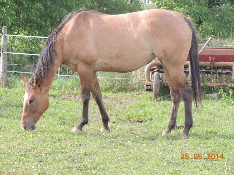 Les chevaux de l'Appaloosa IJ Farm - Page 2 Sun_311