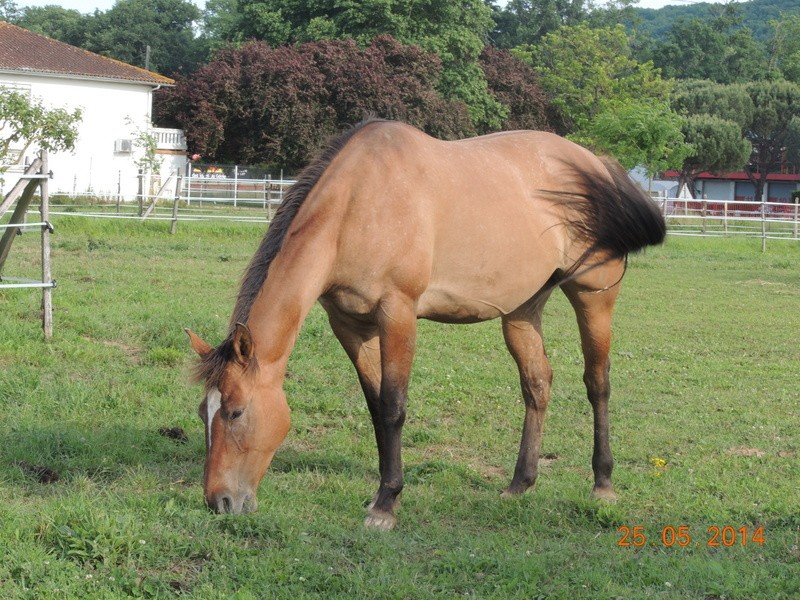 Les chevaux de l'Appaloosa IJ Farm - Page 2 Sun_510